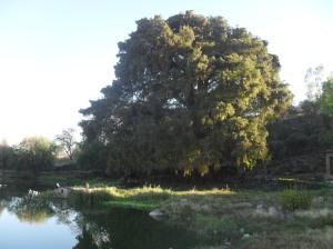 El sabino, en el manantial central de Ziquítaro